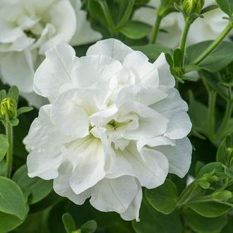 Petunia Tumbelina® Diana
