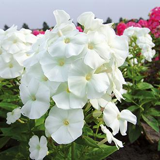 Phlox paniculata Adessa White