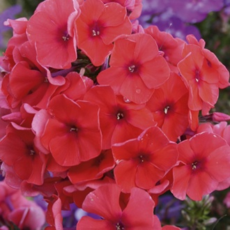 Phlox Adessa Orange