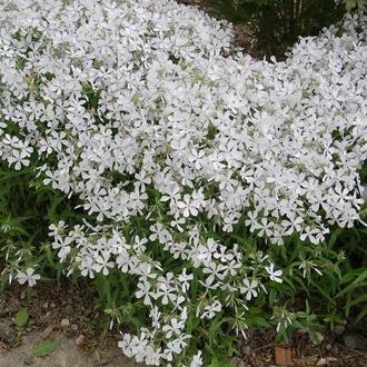 Phlox divaricata White Perfume