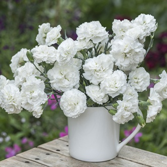 Dianthus Bridal Star
