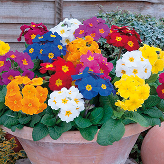 Polyanthus Crescendo Mixed F1