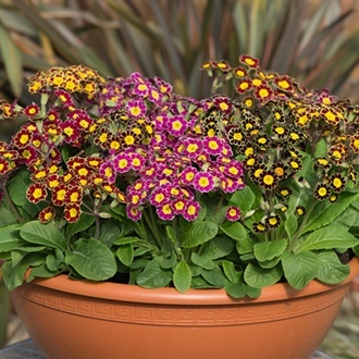 Polyanthus Victoriana Mixed F1