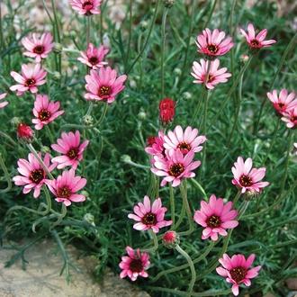 Rhodanthemum Pretty in Pink