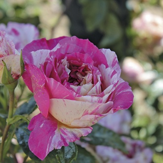 Rose Claude Monet ® (Climbing Rose)