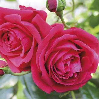 Rose Republic de Montmarte ® (Floribunda)