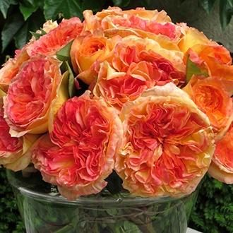 Rose Henri Delbard® (Hybrid Tea)
