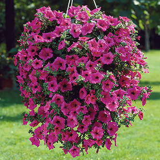 Petunia Surfinia Hot Pink