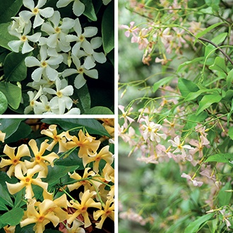 Trachelospermum Collection