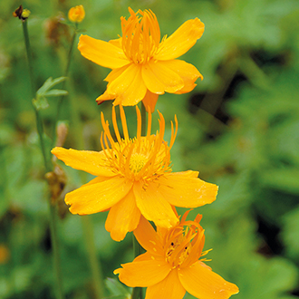 Trollius chinensis 'Golden Queen' AGM