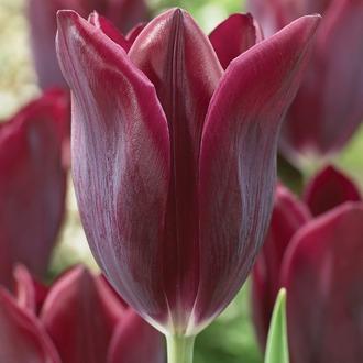 Tulip Havran Flower Bulbs