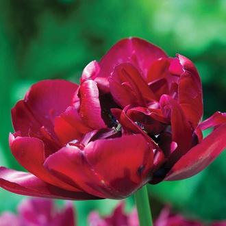 Tulip Antraciet Flower Bulbs