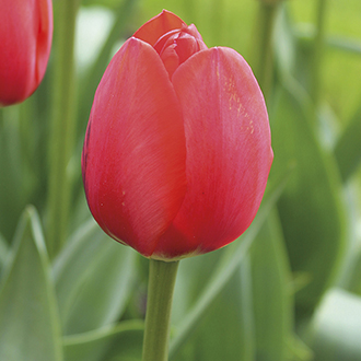 Tulipa 'World's Fire'