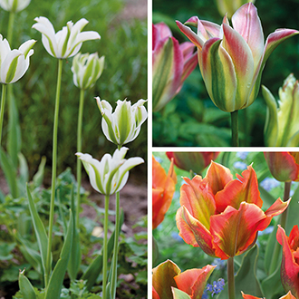 Tulip Perennial Collection