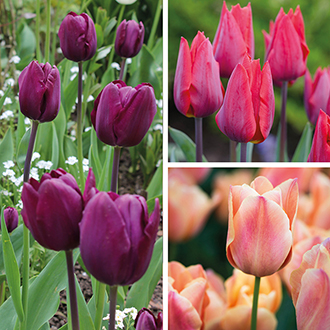 Late Flowering Tulip Collection