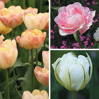 Tulip Double Collection