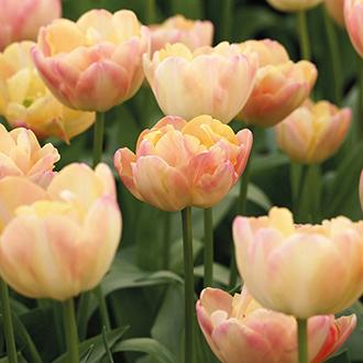 Tulip Crème Upstar
