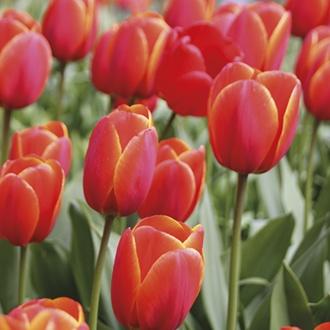 Tulip Ad Rem Bulbs