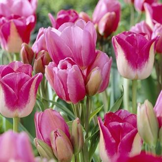 Tulip Happy Family