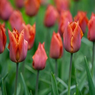 Tulip Request Flower Bulbs