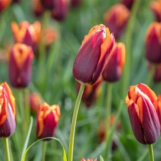 Tulip Slawa