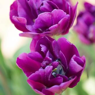 Tulip Blue Wow Flower Bulbs