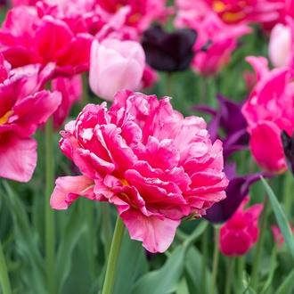 Tulip Chato Flower Bulbs