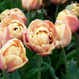 Tulip La Belle Epoque Bulbs