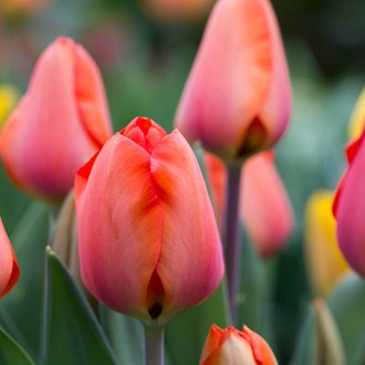Tulip Apricot Impression Bulbs