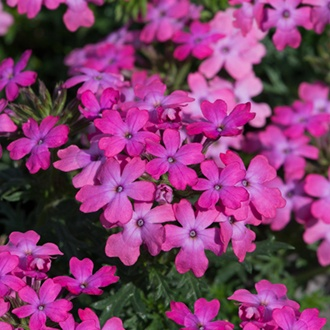 Verbena Enchantment Hot Pink