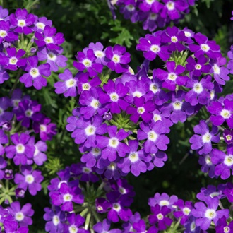 Verbena Enchantment Violet Eye