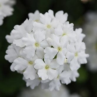 Verbena Enchantment White
