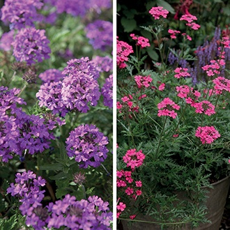 Verbena For Pots Collection