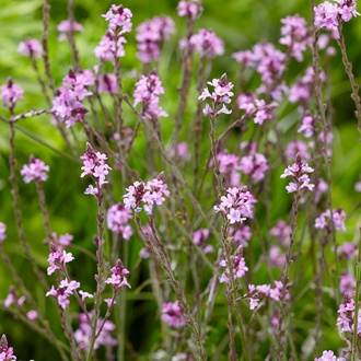 Verbena officinalis var. grandiflora Bampton