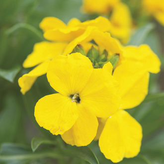 Wallflower 'Cloth of Gold'
