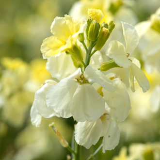 Wallflower 'Ivory White'