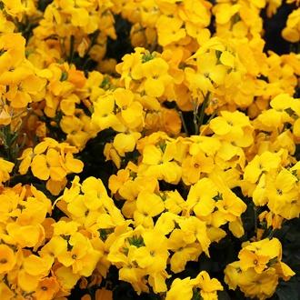 Wallflower Sugar Rush Yellow F1