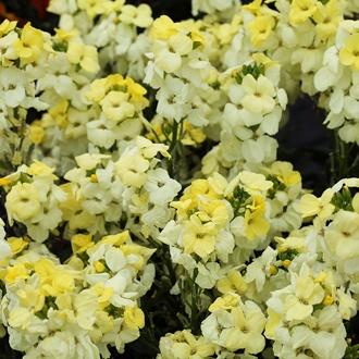 Wallflower Sugar Rush Primrose F1