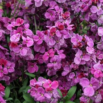 Wallflower Sugar Rush Purple Bicolour F1