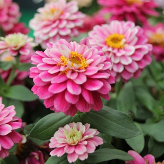 Zinnia Zahara Double Raspberry Ripple F1