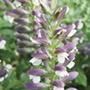 Acanthus mollis flower plants