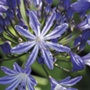 Agapanthus Moonlight Star