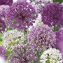 Border Allium Mix