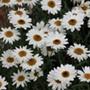 Arygranthemum Grandaisy Ivory White