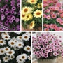 Arygranthemum Grandaisy Collection