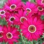 Argyranthemum Grandaisy Deep Red Plants