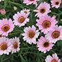 Arygranthemum Grandaisy Pink Halo