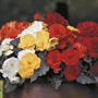 Begonia Non-Stop Mocca Mixed F1