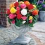 Begonia Non-Stop Mixed Collection