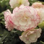 Begonia Amerihybrid Picotee Pink Halo